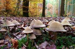 Autumnal Forest / Herbstlicher Wald (Claude@Munich) Tags: wood mushroom forest germany bayern bavaria floor oberbayern upperbavaria fungi fungus pilze wald sylvan pilz waldboden forst schwammerl herbstlich claudemunich glockenfrmig oberhaching psathyrella lacrymaria dngerling landkreismnchen bltterpilz denpullach faserling faserlingsartig tintlingsartig saumpilz