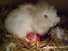 Fifi with 6 healthy kits (ixchelbunny) Tags: baby rabbit bunny bunnies birth kits angora ixchel ixchelbunny
