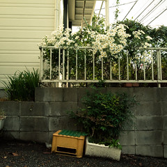 Sunday Gardening, Minamikasai, My Hood (jacob schere [in the 03 strategically planning]) Tags: urban white house plant home wall digital fence garden square concrete wire weeds weed gardening geometry jacob side 4 cement shapes neighborhood communication container pot wires hood wabisabi gr geometrical wabi sabi siding asphalt crate lucid cinderblock neighbor styrofoam iv ricoh potted asters aster m2c schere edogawaku  dgr  jacobschere minamikasai  lucidcommunication tokyojapanflowerfloweringbloombloomingblossomblossomingbudbudding httpwwwlucidcommunicationcom20111113sundayafternooninmyhoodminamikasaithatis