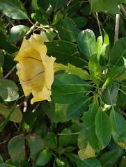 Golden chalice vine (igomak) Tags: australia brisbane yellowflower toowong solanaceae solandramaxima cupofgoldvine olympuse30