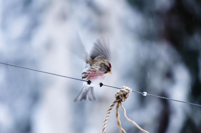Fluttering Redpoll