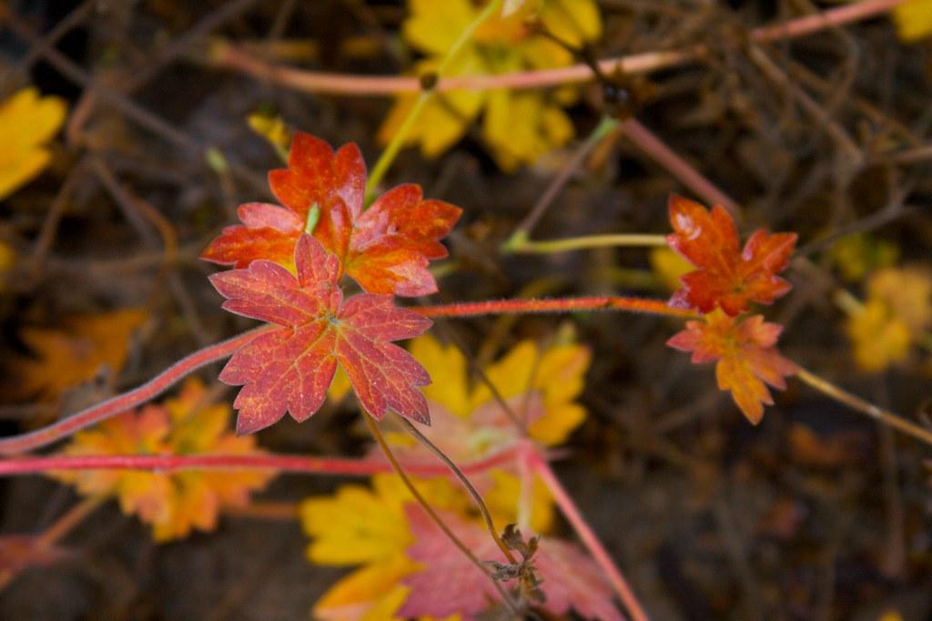 geranium wlassovianum  1008