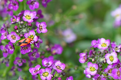 Where the wild-ish things are... (Barbara Taeger Photography) Tags: color macro closeup wednesday insect nikon purple bokeh wildlife daily 365 challenge alyssum 105mm hbw odc2 pianogram selectivefocusour