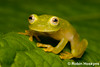 Fleischmann's Glass Frog (Hyalinobatrachium fleischmanni) ([[BIOSPHERE]]) Tags: park travel cloud nature glass robin forest photography ngc honduras frog national jungle operation herp herps centralamerica herpetology fleischmanns cusuco montane wallacea herpetofauna opwall specanimal hoskyns hyalinobatrachium fleischmanni