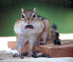"""What?"" (SavingMemories) Tags: cute mouth pose mouse rodent squirrel funny wildlife chess adorable seeds chipmunk what chippy chessset backyardwildlife savingmemories suemoffett"