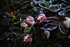 Eisblumen  (c-or^^) Tags: flower nature fleur rose 50mm flora frost hoarfrost fiori blume raureif eisblumen subwaytosally wonderfulworldofflowers pentaxkr