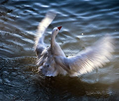 Alas de luz - Wings of light (Marco Antonio Losas) Tags: light bird luz water ro river agua goose ave gooses ganso aranjuez comunidaddemadrid gansos domesticgoose gansodomstico marcoantoniolosas