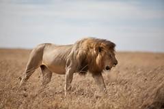 20091027-IMG_6876 (scandihooligan) Tags: kenya masaimara eastafrica
