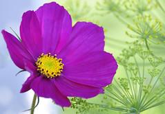 Purple flower (Steven H Scott) Tags: flower up nikon close d90 stevenscott