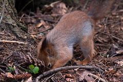 Working Squirrel 1 (TomiTapio) Tags: bury helsinki squirrel iso400 orava cache burying écureuil caching seurasaari sciurusvulgaris sqrl eurasianredsquirrel kurre canonef90300mmf4556usm