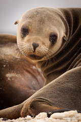 Galápagos Sea Lion (Zalophus wollebaeki) (mikel.hendriks) Tags: southamerica ecuador marine wildlife ngc galapagos explore pup sealion santacruzisland galápagos zeeleeuw zuidamerika galapagosislands galapagoseilanden galapagossealion specanimal sealionpup galápagosislands canoneos50d zalophuswollebaeki galápagossealion sigma120400mmf4556apodgoshsm galápagoseilanden