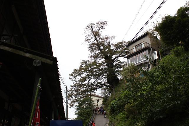 奥多摩の欅