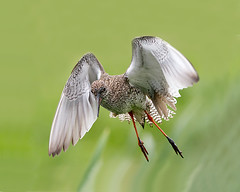 Redshank Flight up close (Andrew Haynes Wildlife Images) Tags: bird nature norfolk flight nwt redshank cleymarsh ajh2008