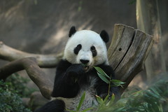 Yun Zi likes to sit up front and people watch (kjdrill) Tags: china california bear usa animal giant zoo cub panda sandiego bears pandas endangeredspecies 5655 yunzi yunior