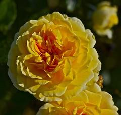 Golden rose (IanAWood) Tags: kewgardens london raw richmond surrey autumncolours royalbotanicalgardens d3x nikkor105mmf28gvrmicro walkingwithmynikon