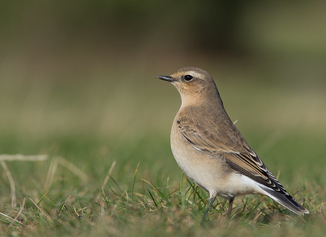 wheatear afternoon 300mm_