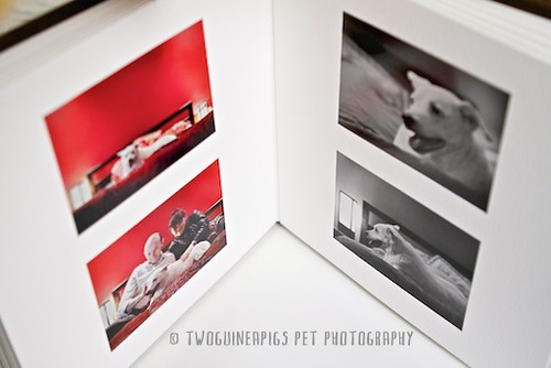 6.twoguineapigs pet photography new product offering, custom pet portraiture
