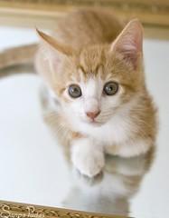 20110817_23497b (Fantasyfan.) Tags: pet reflection cute look animal topv111 mirror furry topv333 kitten tabby fluffy lazy curious laying fantasyfanin pelko