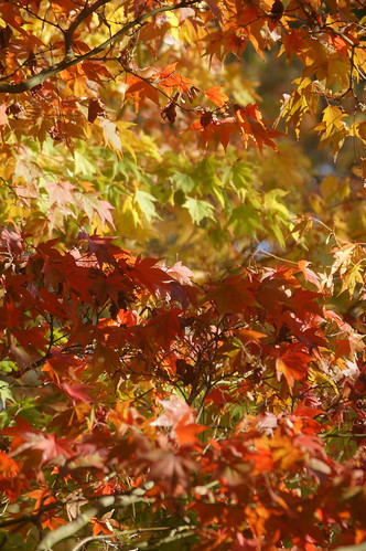 Autumn Colours at Westonbirt Arboretum - Japanese maple by CharlesFred