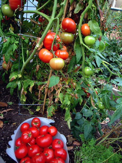 2011 Golith Tomato Plant