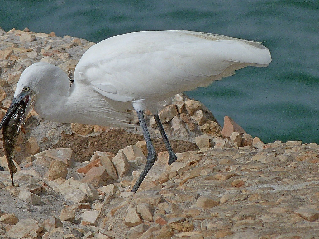 21-10-2011-egret-eating-fish3
