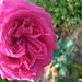 フリージア(Friesia)