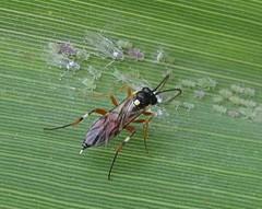 Diplazon laetatorius (Costan E) Tags: hymenoptera ichneumonidae diplazon laetatorius