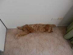 DSCN5034 flat against the wall (drayy) Tags: orange wall cat ginger funny soft fluffy stretch mainecoon neko stretched ggg cc200 cc100 bestofcats thebiggestgroupwithonlycats catmoments