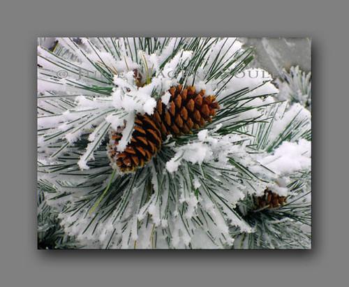 Ponderosa Pine Notecard