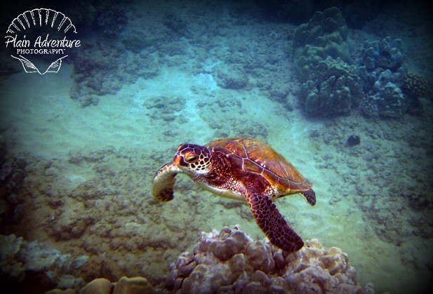 Green Sea Turtle above Coral