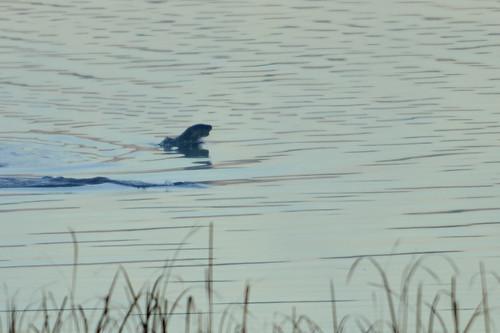 River Otter DSC_6846