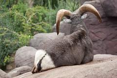 2011-10-30-11h16m48.272P6358 (A.J. Haverkamp) Tags: zoo arnhem thenetherlands burgerszoo bighornsheep dierentuin oviscanadensis canonef100400mmf4556lisusmlens dikshoornschaap httpwwwburgerszoonl