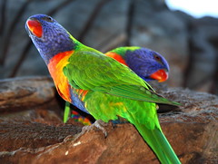 Rainbow Lorikeets [explored] (CarlosSilvestre62) Tags: sydney australia explore rainbowlorikeet rainbowlorikeets explored carlossilvestre62 carlossilvestre62explored wildrainbowlorikeet