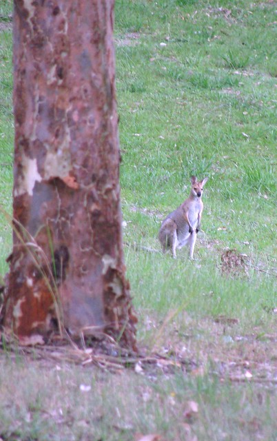 Wallaby - Lake Samsonvale