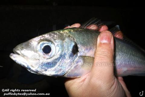Atlantic Horse Mackerel - Trachurus trachurus