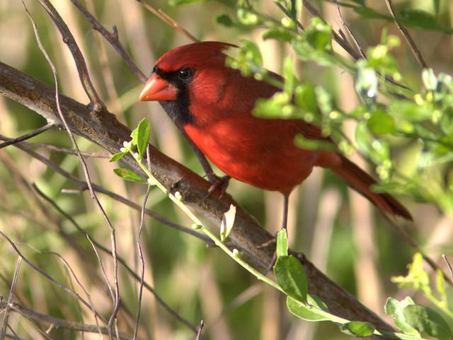 Northern Cardinal 2-20111104