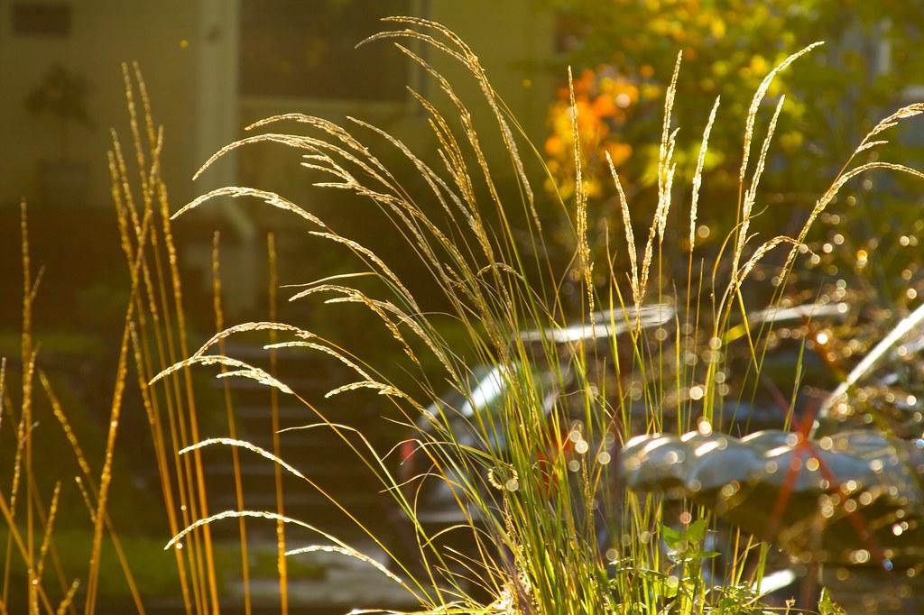 calamagrostis avalanche  877