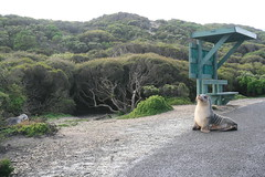 sea lion (superholly0926) Tags: australia adelaide southaustralia kangarooisland  sealink