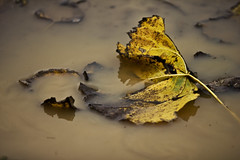 malinconicamente (mat56.) Tags: autumn color nature water leaves foglie puddle leaf aqua mud milano natura campagna foglia autunno colori lombardia pianura fango pozzanghera padana sancolombanoallambro