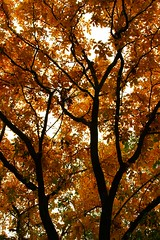 312 The Color Just Keeps Getting Better (dogwood_springs_photography) Tags: autumn black color tree fall walnut foliage