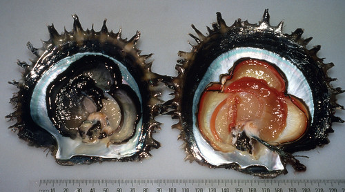 Dissected black-lip oyster red and black colour morphs, Solomon Islands. Photo by Idris Lane, 1999