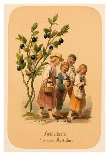004-Arándanos-Illustrirtes Kräuterbuch –Aquarelle- 1870-Adolf Schroedter