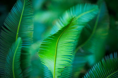 living fossil (lemank) Tags: leaves cycad gettyimages 111111 flamingogardens interestingness90 i500