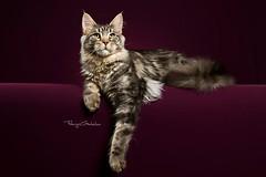 medio_05 (Fabrizio Garbolino) Tags: pet cats pets cat kitten feline expo maine kittens coon felini gatto gatti mici cuccioli gattini petsphoto