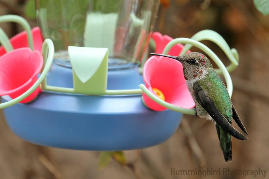Anna's Hummingbird111311-2