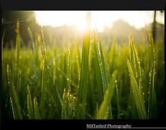 """Morning's here!"" (MHTashrif) Tags: morning winter green water early drops glare bokeh dew shrubs bangladesh wintermorning"