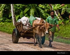 Traditional Transport (Steve Rosset) Tags: life africa road travel people man black june wagon geotagged tanzania cow african vibrant traditional vivid adventure transportation tropical zanzibar lush trade 2011 steverosset geoafrica