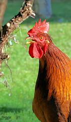 Kikeriki (wigerl - herwig ster) Tags: chicken nature tiere sony kärnten carinthia alpha hahn hühner tiffen feldkirchen minolta70210f4 sonyalpha700