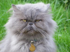 """""""Is this ok for you?""""... (carlene byland) Tags: blue grass cat persian eyes greyfur"""