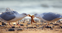 Gulls fighting over a Common Starfish - BEST VIEWED LARGE (Alan MacKenzie) Tags: sea england seagulls beach nature birds sussex wings brighton starfish wildlife gulls feathers pebbles markings seastar alanmackenzie